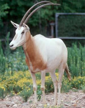 Орікс сахарський - тварина, зникле в дикій природі