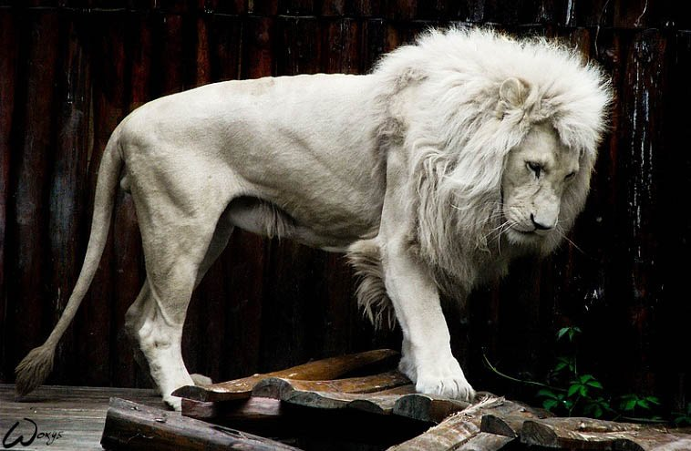 Лев альбинос