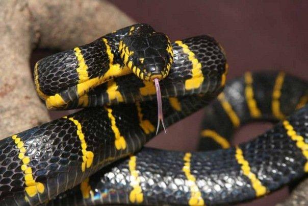 Мангрова змія