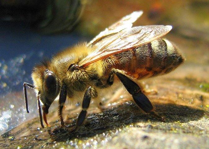африканизированные пчелы