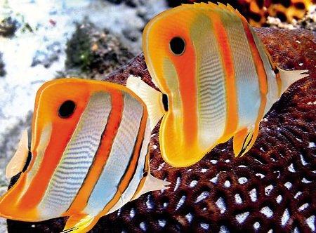 Риба-метелик меднополосая. Все про рибах