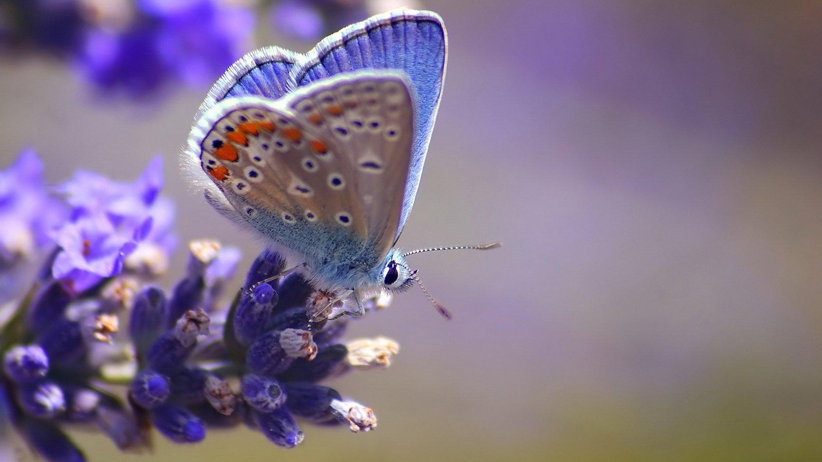 Голубянка красивая.
