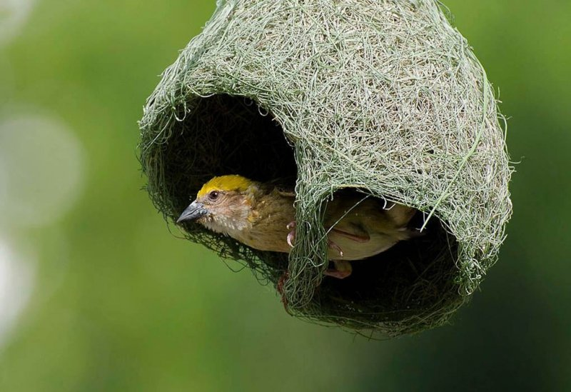Байя уивер в гнезде