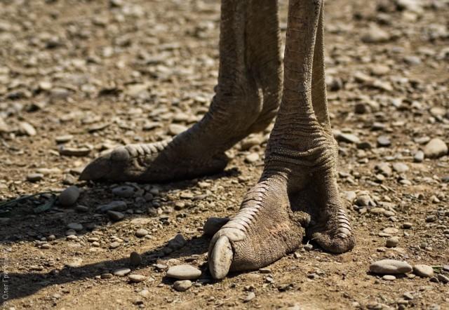 Нога страуса