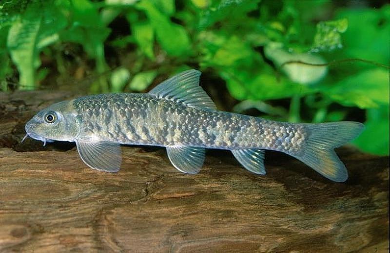 Рыбка-доктор