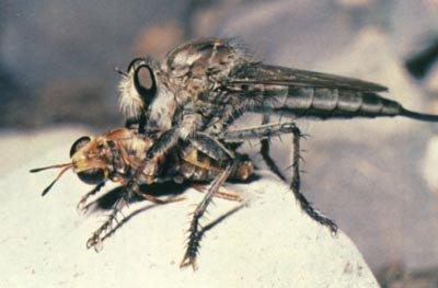 Толкунчик убивает муху
