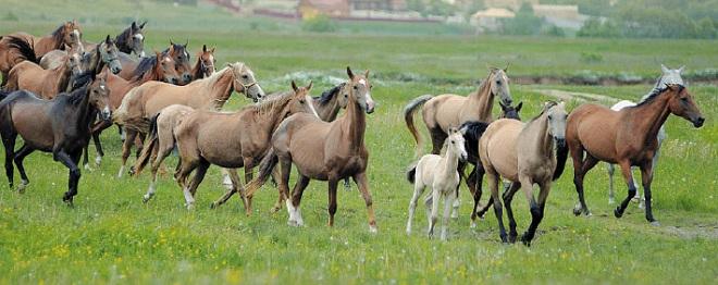 Ахалтекинские лошади