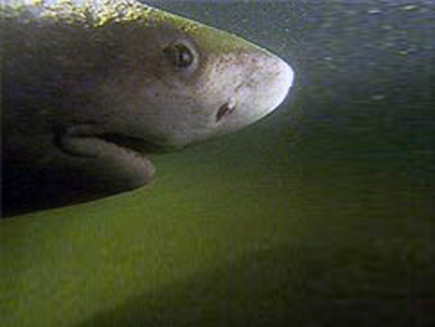 Акула-аллигатор