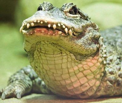 китайський Алігатор. Види рептилій