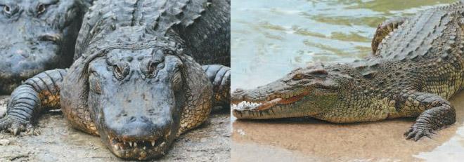 Чем крокодил отличается от аллигатора
