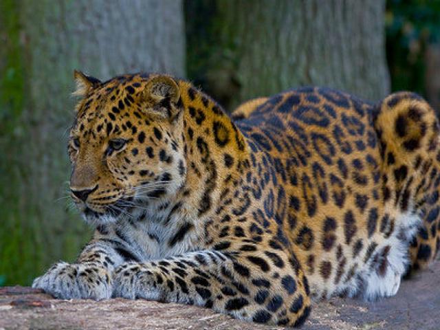 Амурский леопард