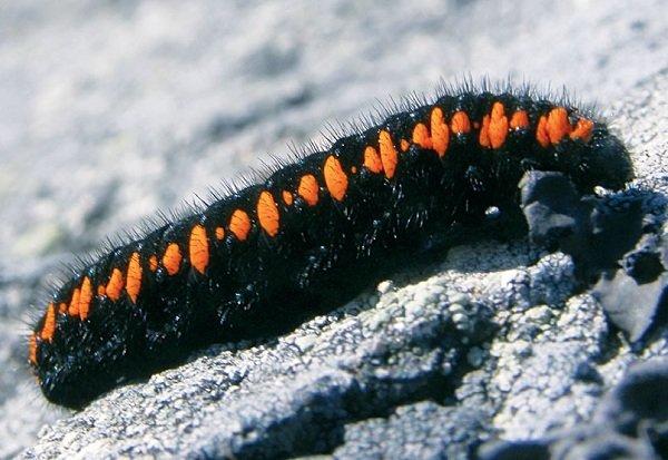 Взрослая гусеница аполлона
