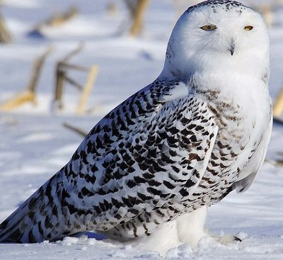 полярна Сова (біла сова)