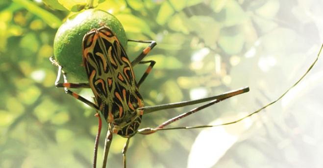Бразильский длинноногий арлекин