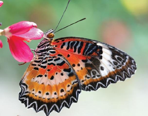 Бабочки-геликониды