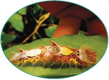 Гусеница бабочки морфо