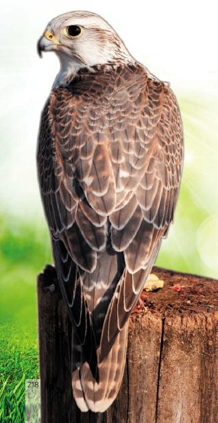 Птах балобан