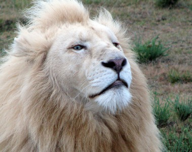Білі леви