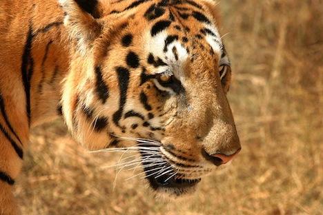 Бенгальський тигр (індійський тигр)