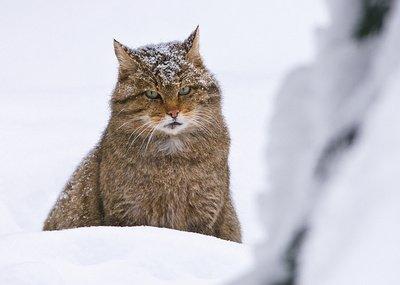 Лісова кішка. Хижаки