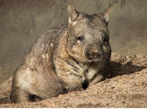 Вомбат   Сайт про тварин