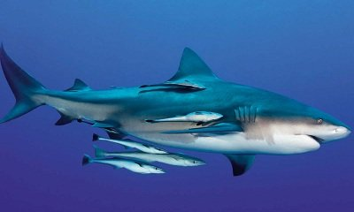Акула-бык (Carcharhinus leucas)