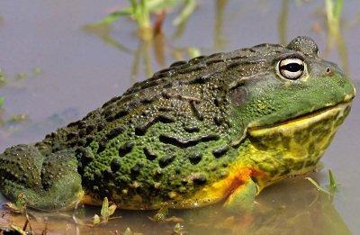 Жаба-бик африканська. Дуже велика жаба
