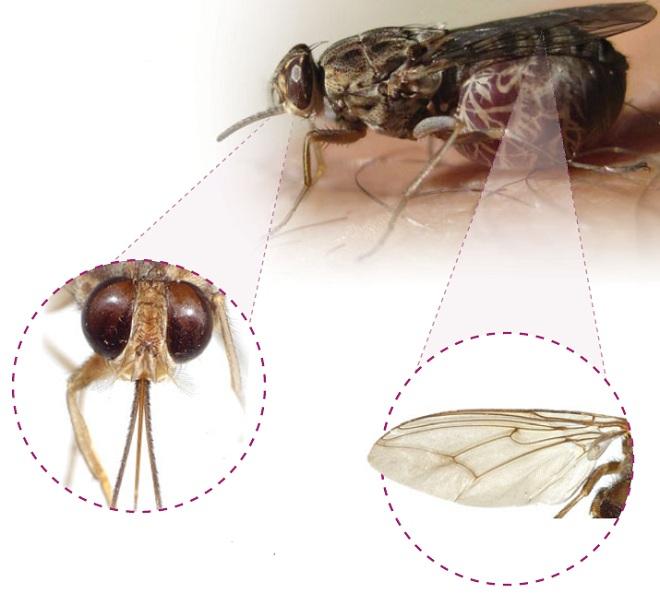 Самка мухи цеце