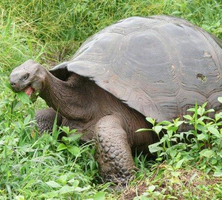 Слонова черепаха   Сайт про тварин