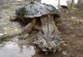 Матамата. Удивительная черепаха
