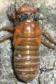 Нимфа периодической цикады