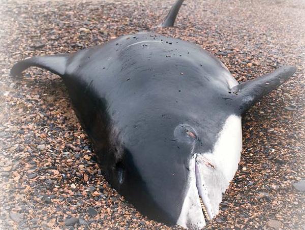 Дельфин беломордый