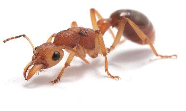 Царица динозаврового муравья
