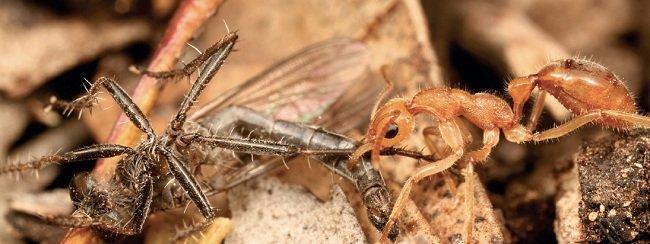 Динозаровый муравей тащит в гнездо свою добычу