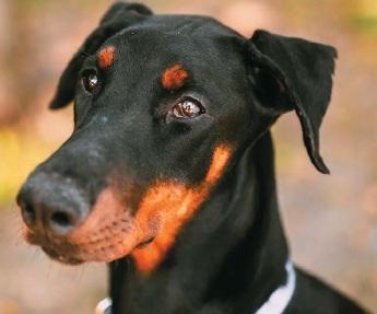 Доберман | Породи собак