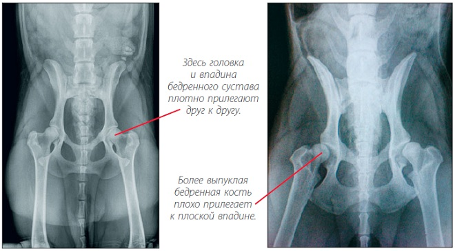 рентгеновский снимок собаки