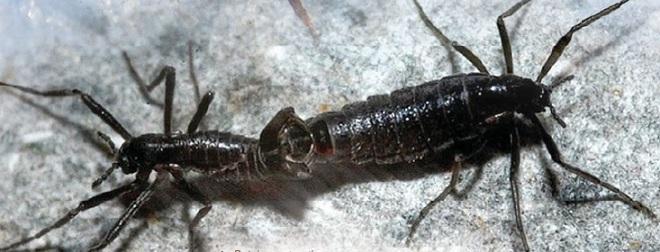 Belgica antarctica — насекомое
