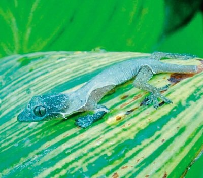 Гекон будинковий (Hemidactylus frenatus)