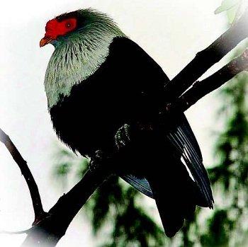 Маврикійський синій голуб