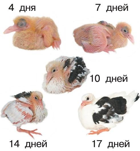 Развитие птенца голубя