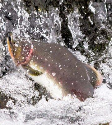 Горбуша. Види риб