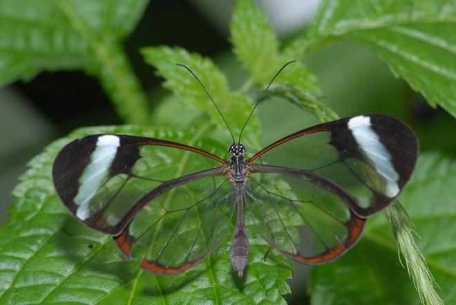 Бабочка Грета Ото