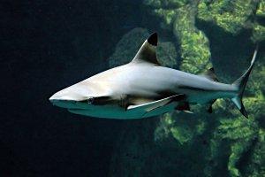 Акула мальгашская ночная