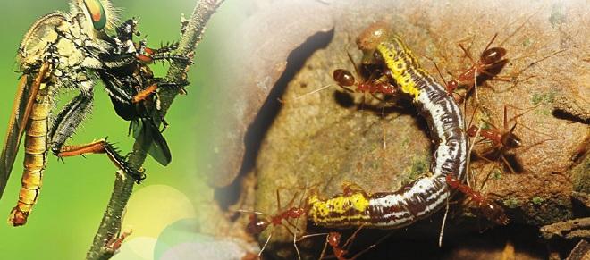 Хищные насекомые