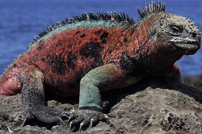 морська Ігуана. Види рептилій