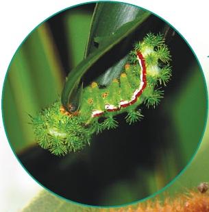 гусеница ио