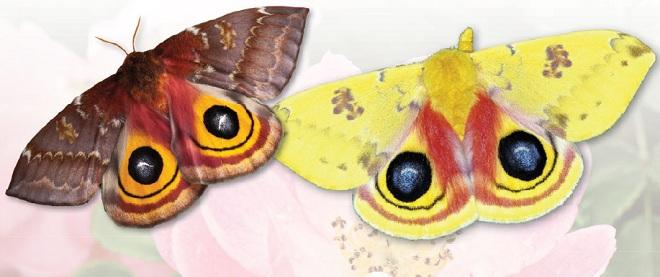 Бабочки ио