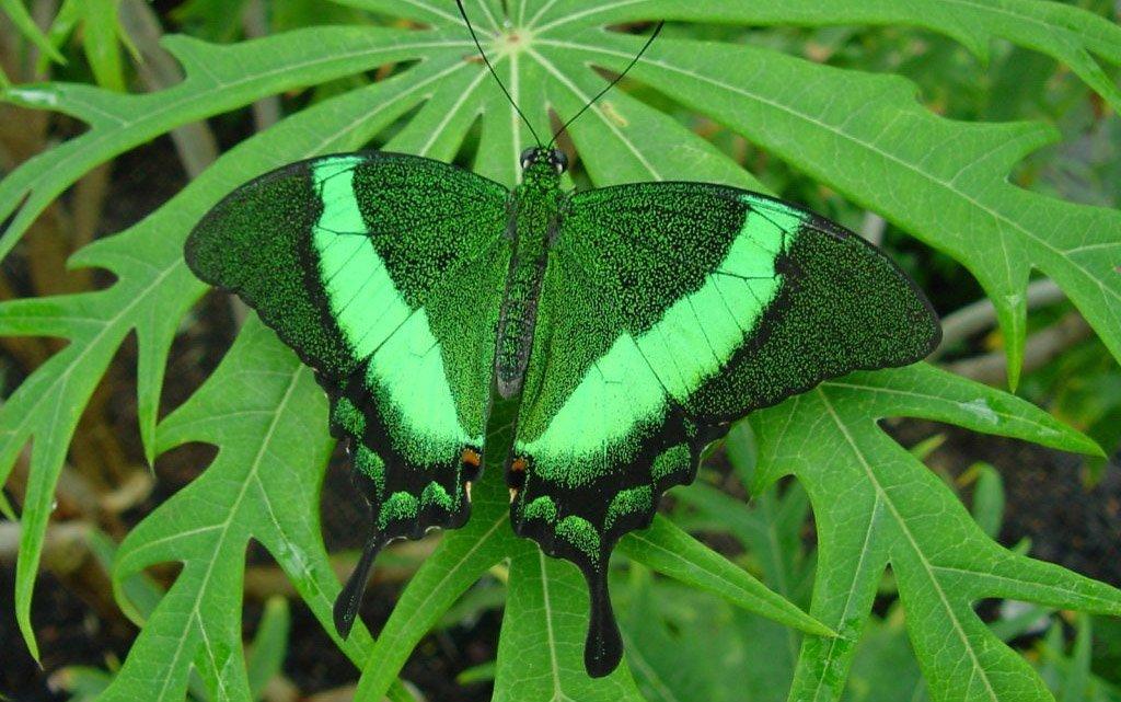 Изумрудная Бабочка с раздвоенным хвостом