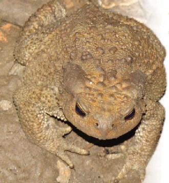 Жаба кавказька