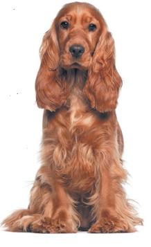 Англійський кокер-спанієль | Породи собак